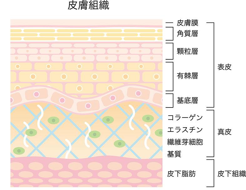 肌の断面図 表皮と真皮